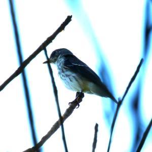 【野鳥】キララ浜自然観察公園のエゾビタキ・ヤマガラ・メジロ・ホオジロ・コサメビタキ・アオアシシギ
