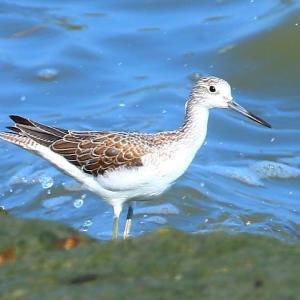 【野鳥】きらら浜自然観察公園のアオアシシギ・イソシギ・ダイサギ