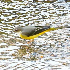 【野鳥】キセキレイの黄色がとってもきれい~♪