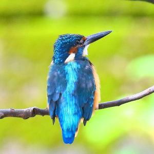【カワセミの里】カワセミちゃんの綺麗な青い羽根~♪