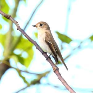 【野鳥】コサメビタキ・カイツブリ・オシドリ