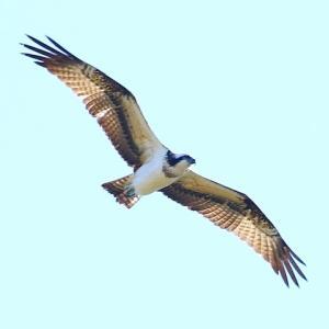 【野鳥】ミサゴ・ツグミ?・ハト・トビ