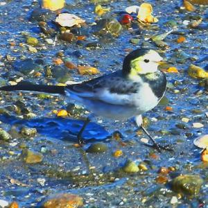 【野鳥】黄色い顔のハクセキレイ幼鳥!
