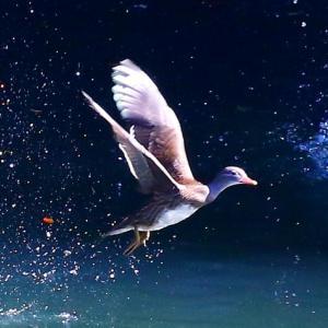 【野鳥】オシドリが本格的にやって来ました~♪