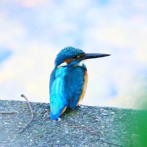 【カワセミの里】カワセミが西光寺川の魚を見ています~♪