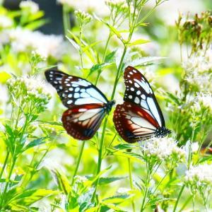 【昆虫】アサギマダラの乱舞(金峰の里)