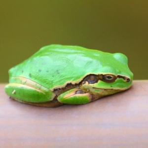 【小動物】ニホンアマガエルが可愛い~♪