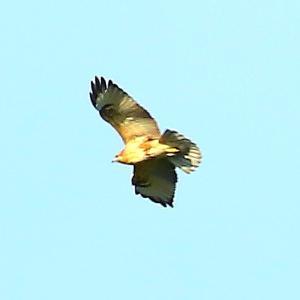 【野鳥】猛禽類ノスリの初見です~♪