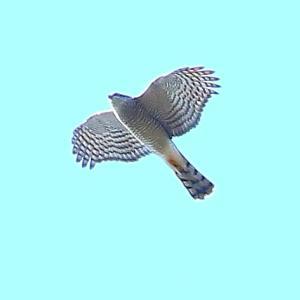 【野鳥】猛禽類ハイタカが2羽飛んだ~♪ 11枚
