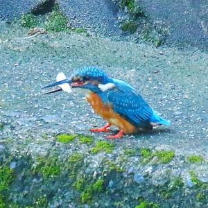 【カワセミの里】カワセミ小太郎ちゃん、お魚を銜えて飛んで行った~♪