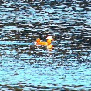 【野鳥】オシドリがやって来た湖~♪