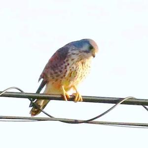 【野鳥】チョウゲンボウの狩り!