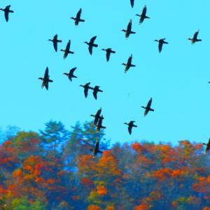 【野鳥】オシドリが舞う~♪