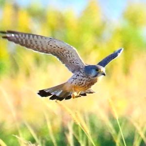 【野鳥】チョウゲンボウの狩り(続き)~♪