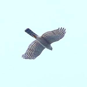 【野鳥】猛禽類ハイタカが自宅上空に来た~♪