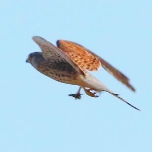 【野鳥】猛禽類チョウゲンボウの狩り(続き2)~♪