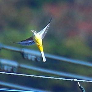 角島の野鳥とダルマギク(11月20日)