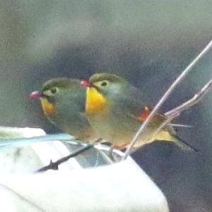 【野鳥】ソウシチョウ(相思鳥)の特定外来生物とは?