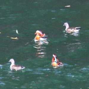 【野鳥】年末のオシドリ、ホシハジロ、カワアイサ、マガモたち