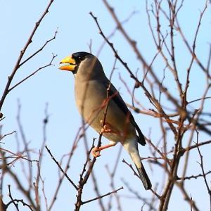 【野鳥】正月のイカル~♪