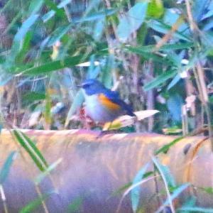 【野鳥】雪のルリビタキとミヤマホオジロ
