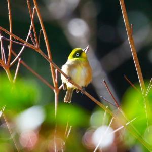 【野鳥】正月のベニマシコ・メジロ・ジョウビタキ・シロハラ・アオジ~♪