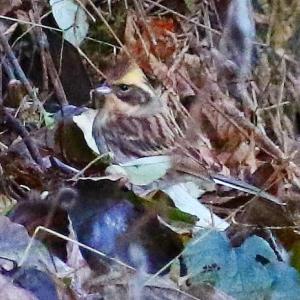 【野鳥】カワアイサ、シロハラ、オシドリ、メジロ、ミヤマホオジロ