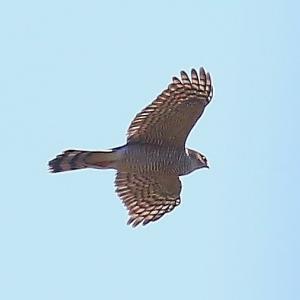 【野鳥】正月の猛禽類ハイタカ~♪