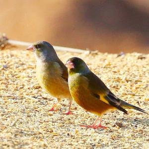 【野鳥】2羽のカワラヒワ~♪