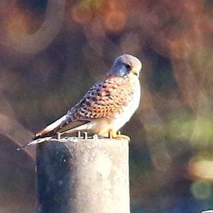 【野鳥】チョウゲンンボウ・ツグミ・アトリ・ムクドリの田園