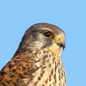 【野鳥】チョウゲンボウの大きい眼が可愛い~♪