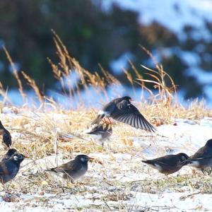 【野鳥】雪中のナンキンハゼに来たムクドリ、キジバト