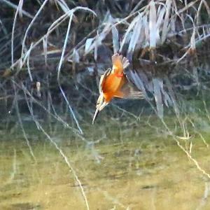 【カワセミの里】寒風すさぶ島田川にカワセミが飛ぶ~♪(3)水中ダイビング