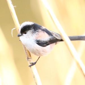 【野鳥】エナガはとても可愛い小鳥です~♪