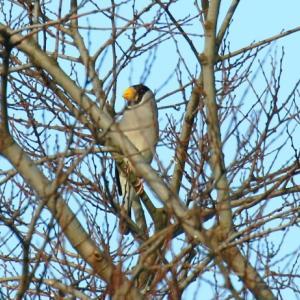 【野鳥】イカルちゃんが、又、来ました~♪