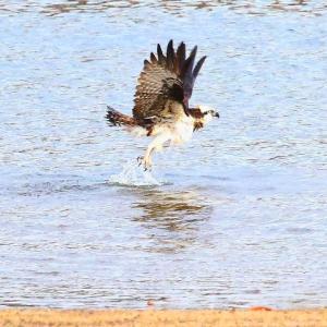 【野鳥】ミサゴの川の中からの飛び立ち~♪