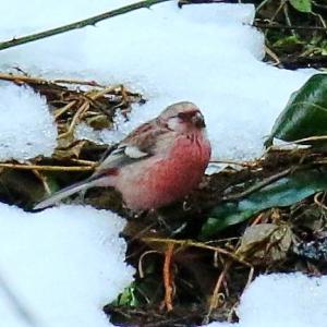【野鳥】雪の中のベニマシコ~♪