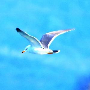 【野鳥】ウミネコが飛ぶ~♪