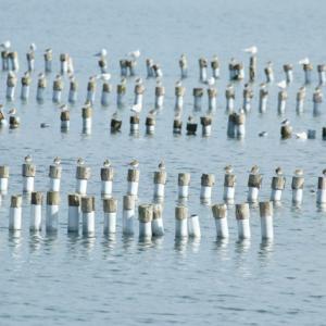 【野鳥】きらら浜自然観察公園1月15日-1ホシハジロ、キンクロハジロ、ハシビロガモ、ズグロカモ