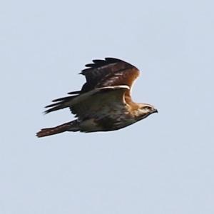 【野鳥】きらら浜自然観察公園1月15日-2 猛禽類ノスリ