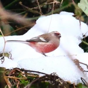 【野鳥】雪のベニマシコ♂♀~♪
