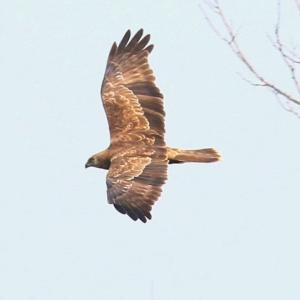【野鳥】きらら浜自然観察公園1月15日-3 チュウヒ・ハイイロチュウヒ♀・白頭チュウヒ・ミサゴ