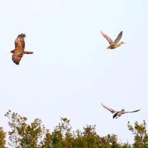 【野鳥】きらら浜自然観察公園1月15日-5 チュウヒとマガモの空!