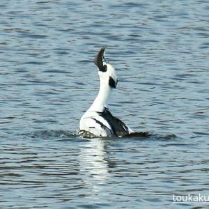 【野鳥】お魚を飲み込むミコアイサ~♪