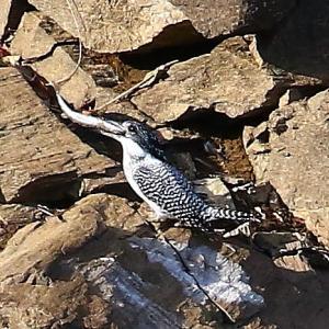 【野鳥】ヤマセミの獲った巨大魚の正体は?