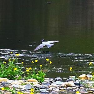【野鳥】錦川をヤマセミがゆく~♪