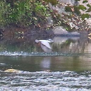 【野鳥】錦川をヤマセミが飛ぶ(2)~♪
