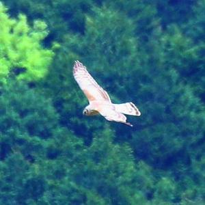 【野鳥】4月16日珍しいハイイロチュウヒ♀が現れました~♪