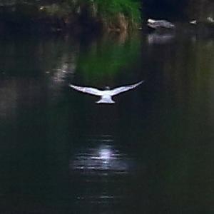 【野鳥】錦川をヤマセミが飛ぶ(3)~♪