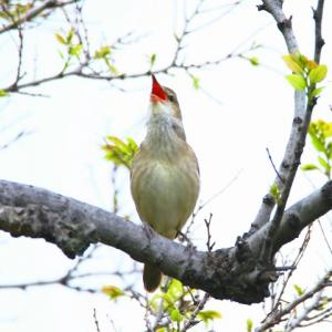 【野鳥】オオヨシキリが鳴く~♪